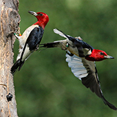 two red-headed woodpeckers